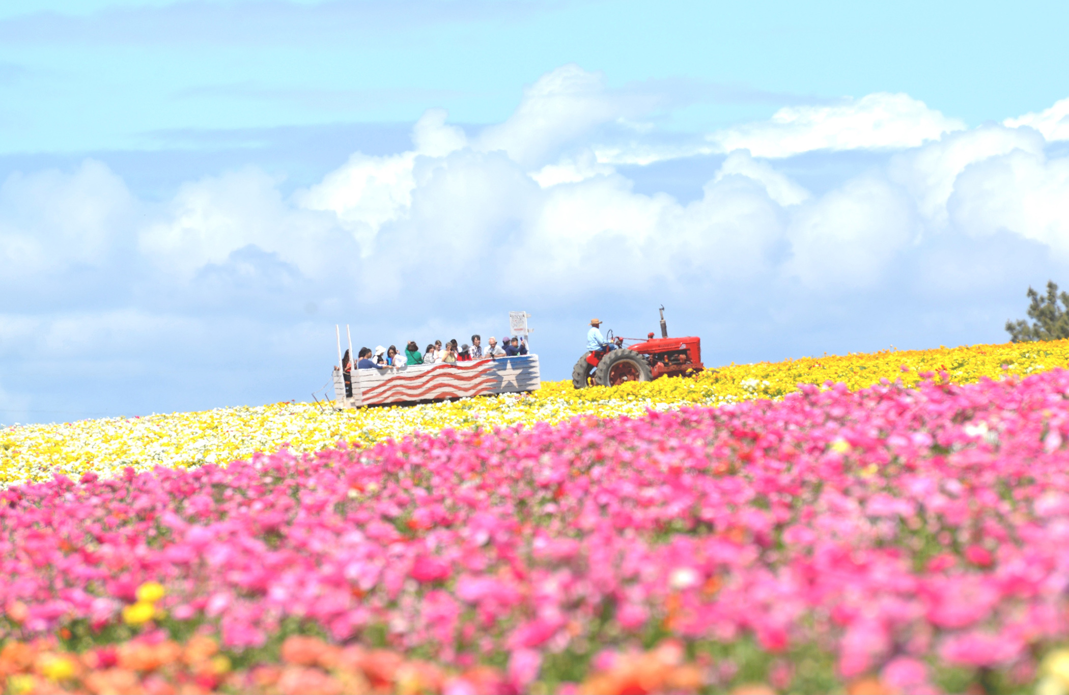 The nearly fifty acres of Giant Tecolote Ranunculus flowers that make up the Flower Fields at Carlsbad Ranch in Carlsbad, California, are in bloom for approximately six to eight weeks each year - from early March through early May- literally bringing the famous fields back to life.