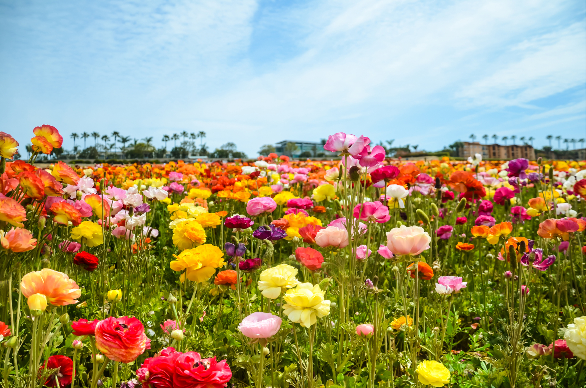 things to do with kids in san diego carlsbad flower fields