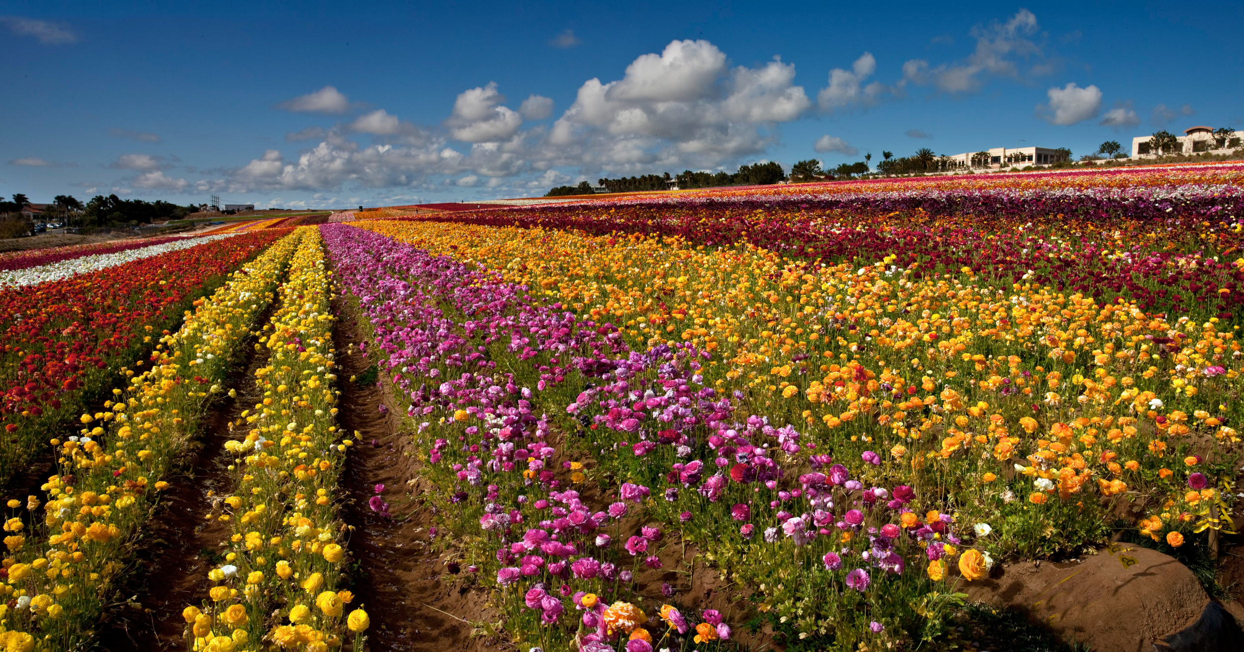 things to do in san diego flower fields